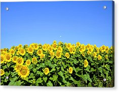 Sunflower City Acrylic Print by Gary Smith