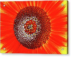 Sunflower Close Acrylic Print