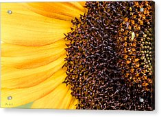 Acrylic Print featuring the photograph Sunflower Closeup by Bob Orsillo