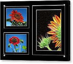Acrylic Print featuring the photograph Sunflower Collage by Joyce Dickens