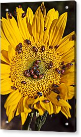 Sunflower Covered In Ladybugs Acrylic Print by Garry Gay