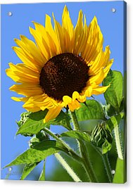 Sunflower Acrylic Print by DazzleMe Photography