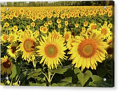 Acrylic Print featuring the photograph Sunflower Faces by Ann Bridges