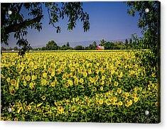 Sunflower Farm Acrylic Print