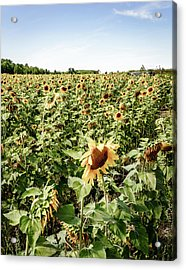 Acrylic Print featuring the photograph Sunflower Field by Alexey Stiop