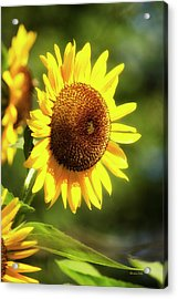 Acrylic Print featuring the photograph Sunflower Field by Christina Rollo
