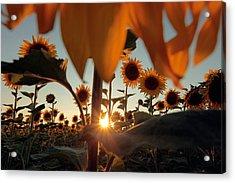 Sunflower Field Acrylic Print by Floriana Barbu