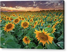 Sunflower Field In Longmont, Colorado Acrylic Print by Lightvision