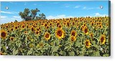 Sunflower Field One Acrylic Print by Barbara McDevitt
