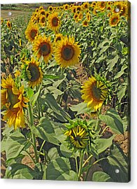 Sunflower Field Two Acrylic Print by Barbara McDevitt
