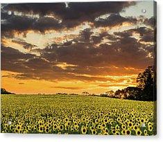 Sunflower Fields Sunset Acrylic Print