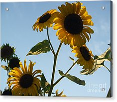 Sunflower Gang From Below Acrylic Print by Anna Lisa Yoder