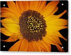 Sunflower Glory Acrylic Print