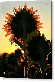 Acrylic Print featuring the photograph Sunflower Greeting  by Chris Berry