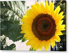 Sunflower II Acrylic Print by Chuck Kuhn