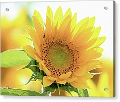 Sunflower In Golden Glow Acrylic Print