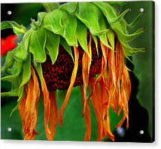 Sunflower In Repose Acrylic Print by JoAnn Lense