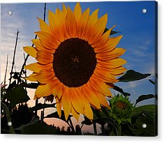 Sunflower In The Evening Acrylic Print