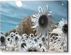 Sunflower Infrared  Acrylic Print