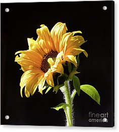 Sunflower Isloated On Black Acrylic Print
