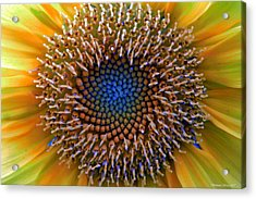 Sunflower Jewels Acrylic Print by Suzanne Stout