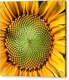 Sunflower Acrylic Print by John Foxx