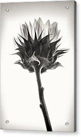 Acrylic Print featuring the photograph Sunflower by John Hansen