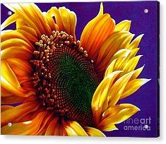 Sunflower Acrylic Print by Jurek Zamoyski
