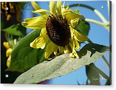 Sunflower, Lemon Queen, With Pollen Acrylic Print