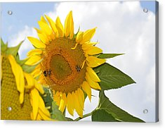 Sunflower Acrylic Print by Linda Geiger