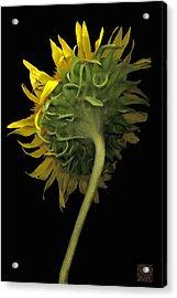 Sunflower Acrylic Print by Lloyd Liebes