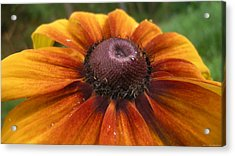 Sunflower Acrylic Print by Lucas Armstrong