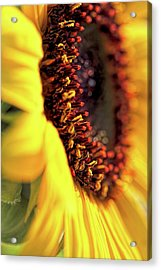 Acrylic Print featuring the photograph Sunflower Macro by Jennie Marie Schell