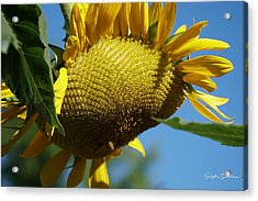 Sunflower, Mammoth With Bees Acrylic Print