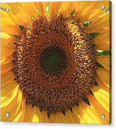 Acrylic Print featuring the photograph Sunflower  by Marna Edwards Flavell