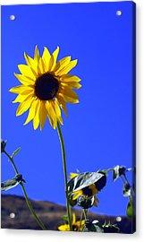 Sunflower Acrylic Print by Marty Koch