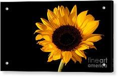 Sunflower Acrylic Print by Michael Herb