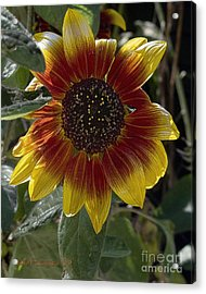 Acrylic Print featuring the photograph Sunflower by Michael Flood