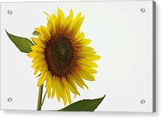 Sunflower Minimal Acrylic Print by Joseph Skompski