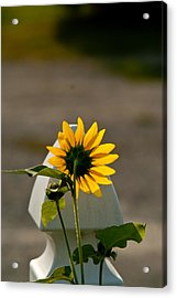 Sunflower Morning Acrylic Print by Douglas Barnett
