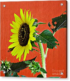 Acrylic Print featuring the photograph Sunflower On Red 2 by Sarah Loft