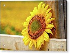 Sunflower On The Fence Acrylic Print