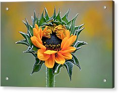 Sunflower Opens Acrylic Print by Emerald Studio Photography