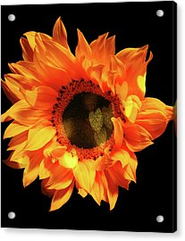Sunflower Passion Acrylic Print