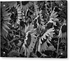 Sunflower Patch 001 Bw Acrylic Print