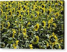 Sunflower Patterns Acrylic Print by Fran Gallogly