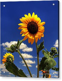Sunflower Acrylic Print by Pete Hellmann