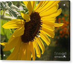 Sunflower Profile Acrylic Print by Anna Lisa Yoder