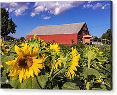 Sunflower Red Barn Acrylic Print
