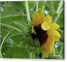 Sunflower Rising Acrylic Print